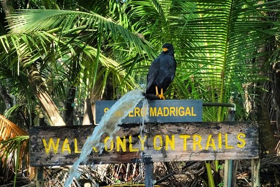Puerto Jimenes, Costa Rica: Black Hawk