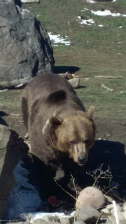 Bozeman, MT: Up close with a Grizzly