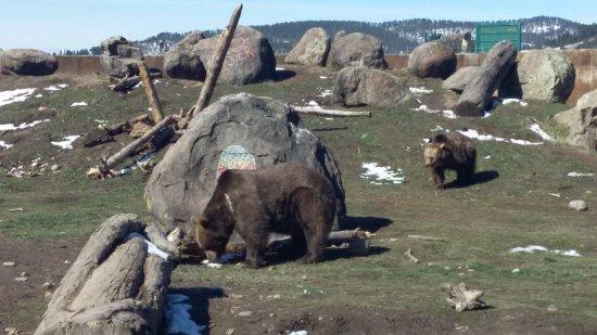 Bozeman, MT: Grizzlies!