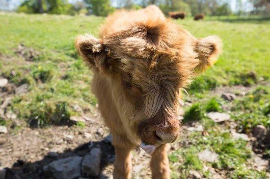 Perth, UK: Hairy Coo Calf