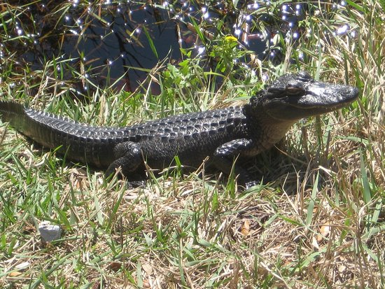 Baby alligator (one of Lefty's babies) - Picture of Hugh S ...