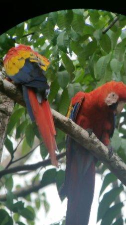 Carate, Costa Rica: Macaws through telescope