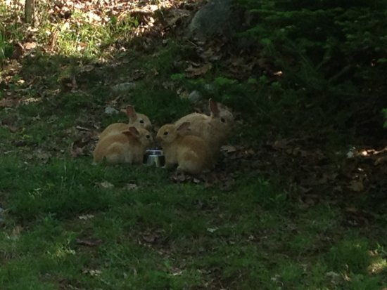 Shelburne, Канада: Four of the adorable bunnies hopping around the cottage area!