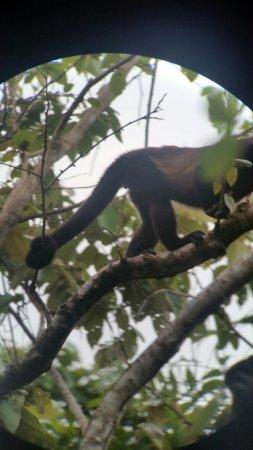 Carate, Costa Rica: Howler Monkey