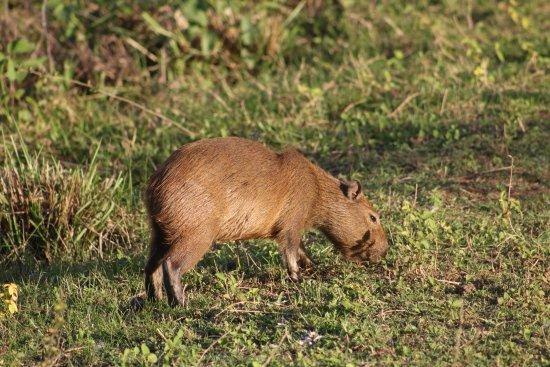 Pantanal Safaris: Capy