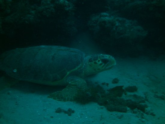 Jupiter, FL: Just one of over 25-30 turtles we saw over the 3 days of diving.