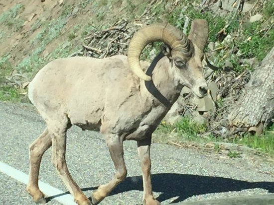 Shoshone Lodge & Guest Ranch : 5 of the Big Horn stopped traffic on East end of Yellowstone entrance.
