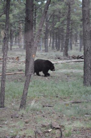 Williams, AZ: Bears oh my!