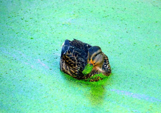 Olympia, WA: A wood duck with green bill:)