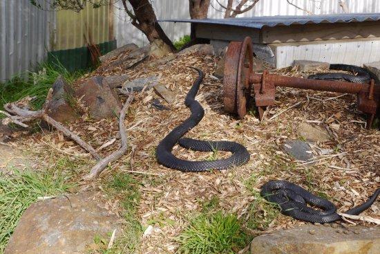 Bicheno, Avustralya: Snakes