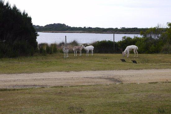 Bicheno, Avustralya: Deers
