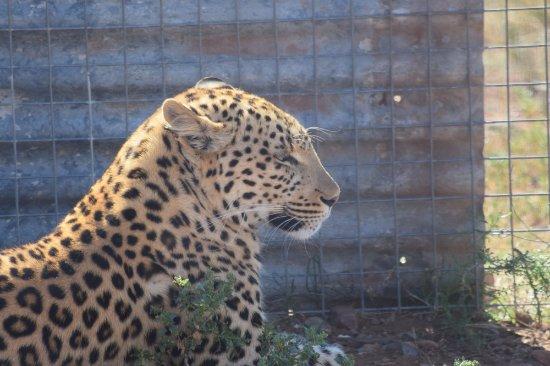 Kirkwood, Sudáfrica: een Luipaard