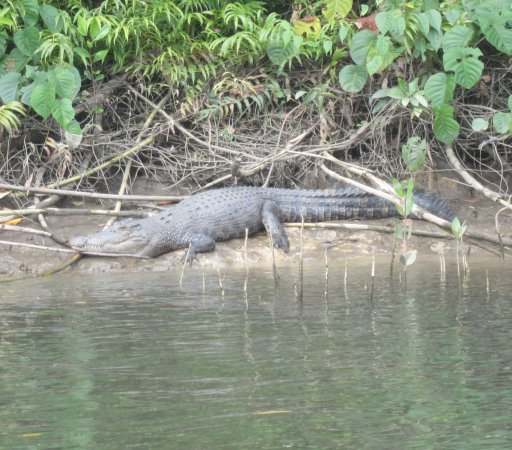 Tony's Tropical Tours: Croc sighting along the Daintree River