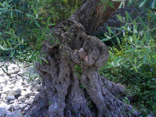 Le Jardin de la Retraite : olivier très vieux
