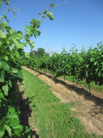 Camiran, ฝรั่งเศส: A close up of the beautiful vineyards that surround the B&B