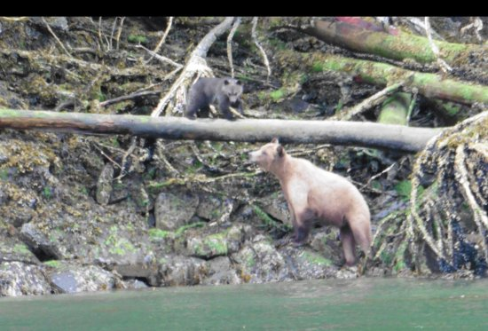 Telegraph Cove, Canada: grizzly sow with coy