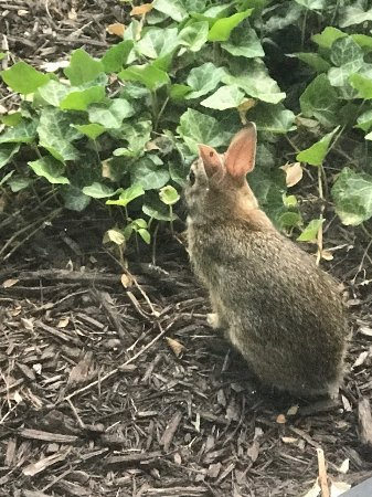 Hyatt Place Baltimore/BWI Airport: Cute bunny I saw on the grounds a few times