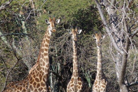 Hartbeespoort, Afrika Selatan: Giraffes at Silkaatsnek