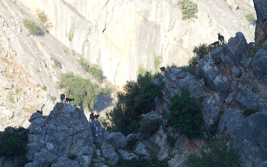 Cortijo Las Piletas: Ibex in nearby mountains