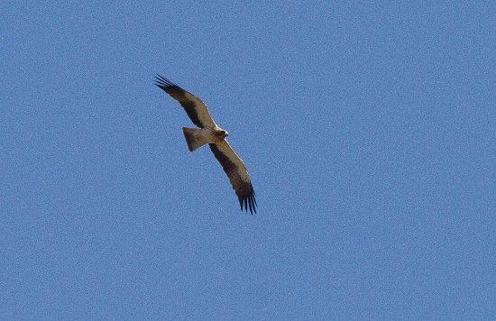 Cortijo Las Piletas: Booted eagle - local breeding pair