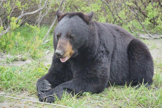 They Had 3 Brown Bears Ů�克拉治alaska Cruise Transportation