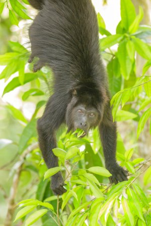 San Antonio, Belize: Wildlife:  Black Howler Monkey