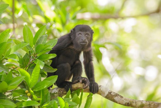 San Antonio, Belize: Wildlife:  Black Howler Monkeys