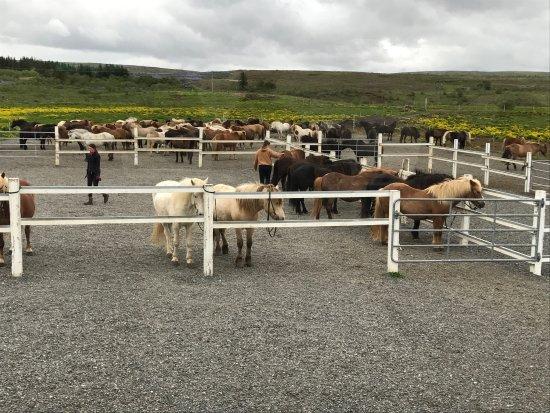 Mosfellsbaer, Island: The horses.