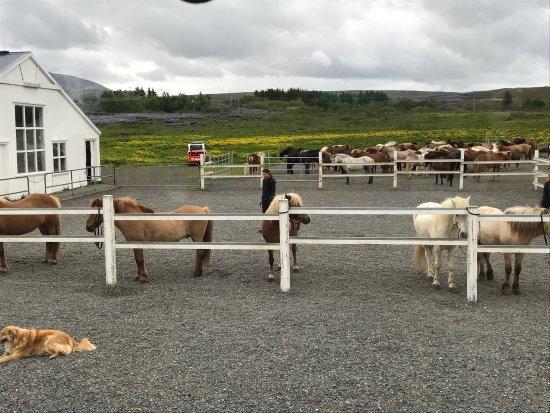 Mosfellsbaer, Islândia: The horses.