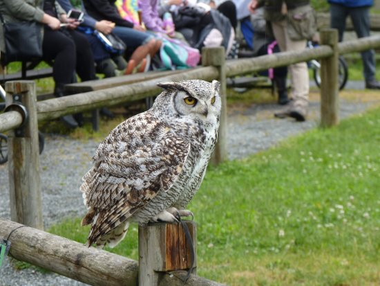 Aldergrove, Canada: 'Hagred' the horned owl.