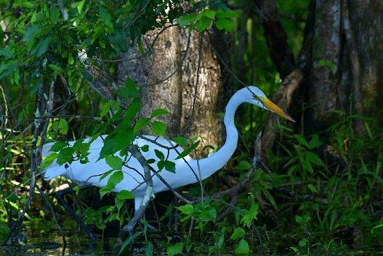 Edward Ball Wakulla Springs State Park: Heron