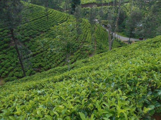 Dickoya, Sri Lanka: Tea Estate located above hotel - nice walk with splendid views