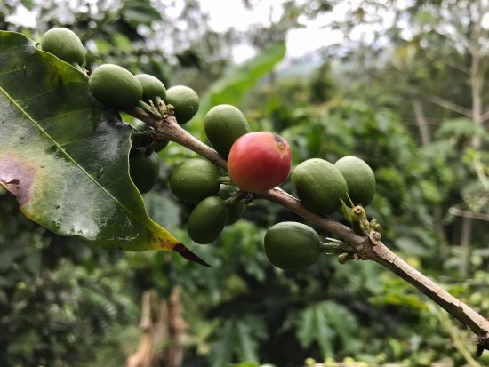Croydon Plantation: Coffee cherries