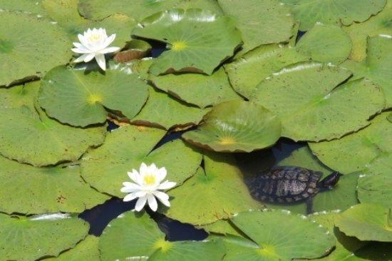 Mobara, ญี่ปุ่น: 睡蓮と亀