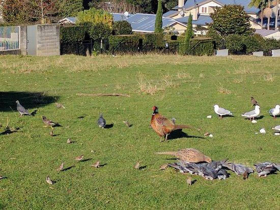 Cornwall Park : Birds!