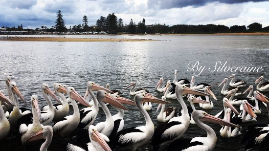 The Entrance Town Centre: Hola Pelicans by Silveraine