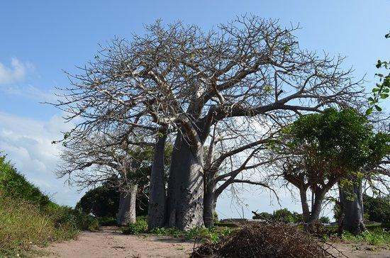 Vilanculos, Mozambik: Baobab Trees