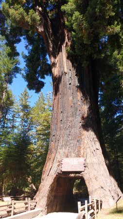 Leggett, Califórnia: The huge Chandelier Tree