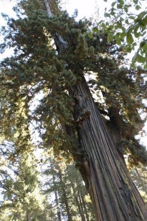 Leggett, CA: Wonderful Coastal Redwood