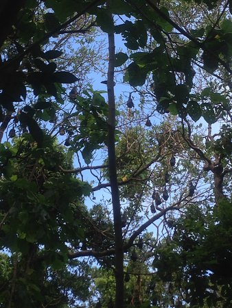 Kosrae, Federated States of Micronesia: You can see bat fruits resting in a tree, hung upside down.