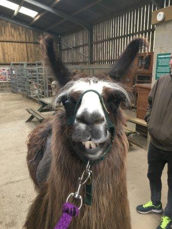 Nidderdale Llamas: Chester the llama!