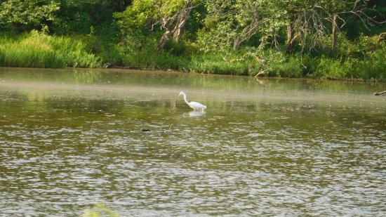 Arkansas City, KS: Egret fishing