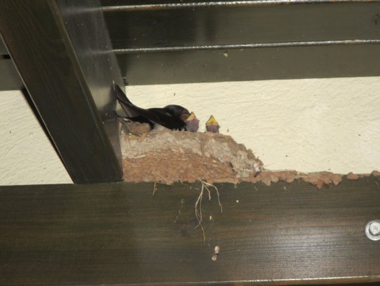 Hotel Zeytinada: Swallows nestling in the rafters