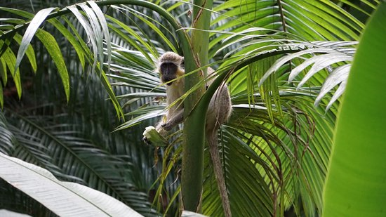 Hunte's Gardens: Green monkey