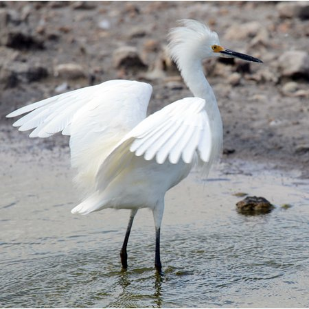 The Valley, Anguilla: Snowy egret