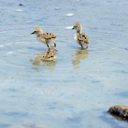 The Valley, Anguilla: Two day old black necked stilts in water.
