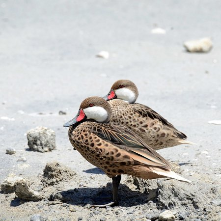 The Valley, Anguilla: Two ducks