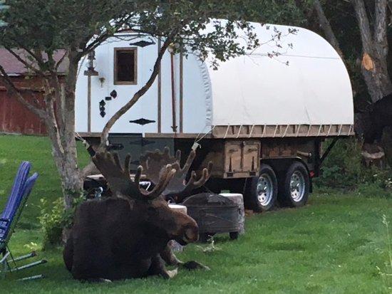 Teton View Bed U0026 Breakfast: Napping Moose By Sheep Wagon