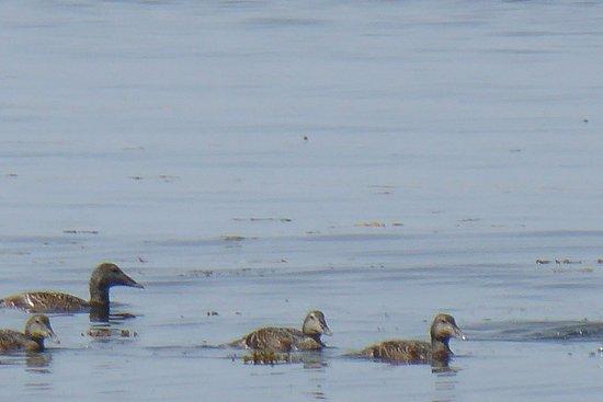 Hanko, Finlândia: Seabirds (eiders?)