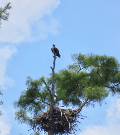 Santee, ساوث كارولينا: Osprey and nest.